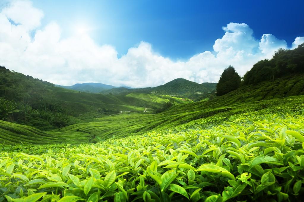 Çayın Gübrelenmesi